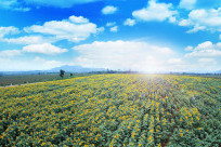 Cánh đồng hoa hướng dương - Điểm đến hấp dẫn tại Đà Lạt