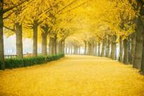 Đi Hàn Quốc thời điểm nào trong mùa thu thì lá vàng đẹp nhất?