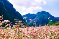 Hà Giang đẹp nhất mùa hoa tam giác mạch