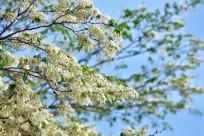 Hà Nội: Đẹp ngỡ ngàng mùa hoa sưa