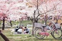 Tìm hiểu lễ hội hoa anh đào Hanami tại Nhật Bản