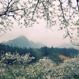 Mộc Châu – Cao nguyên nở hoa