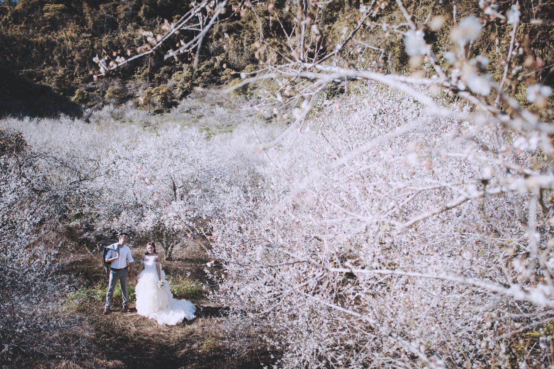 Rất nhiều cặp đôi chọn mùa hoa mận để chụp ảnh cưới