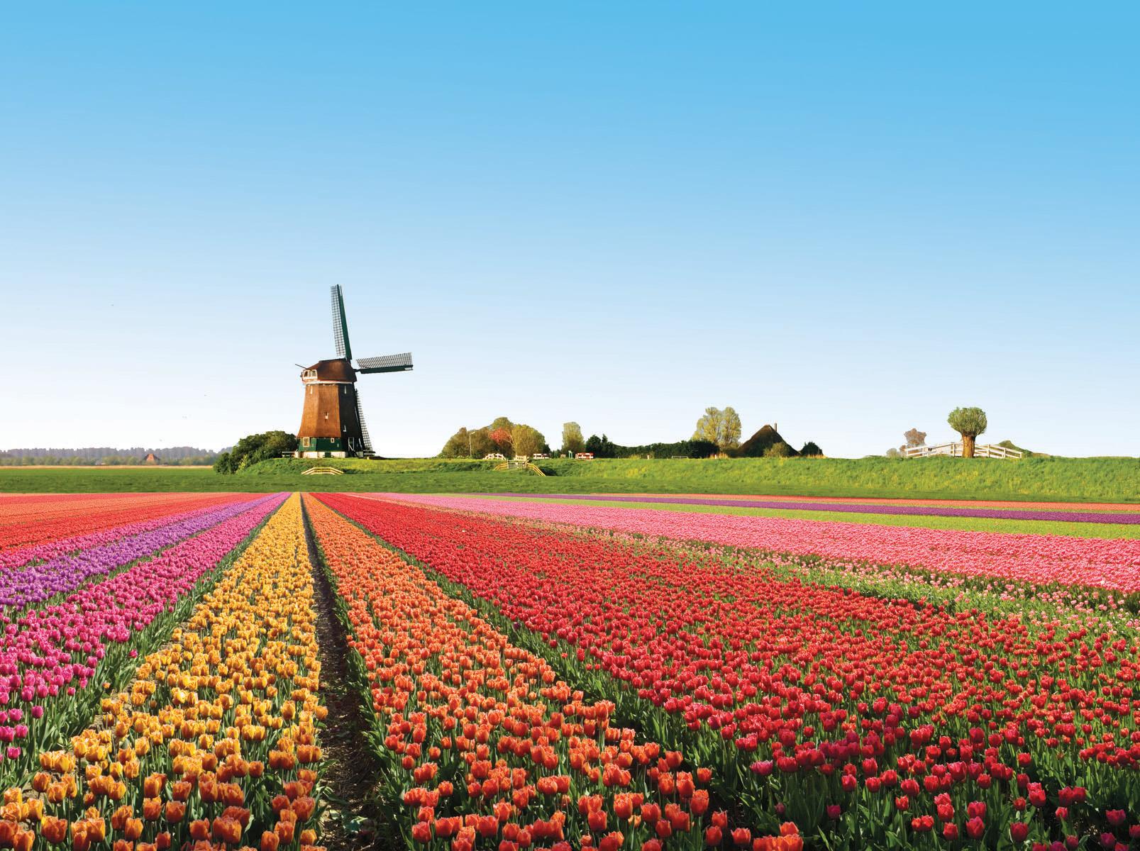 Vườn hoa Tu-lip Hà Lan