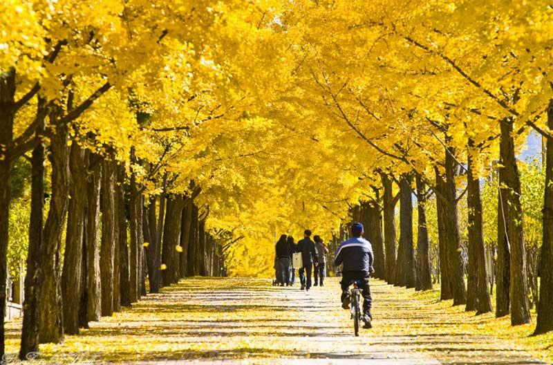 Con đường lá vàng-Hàn Quốc