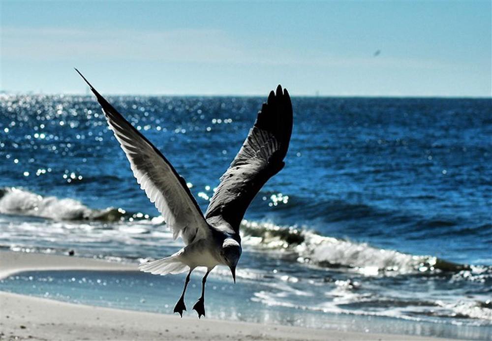 Chim hải âu bay lượn trên biển