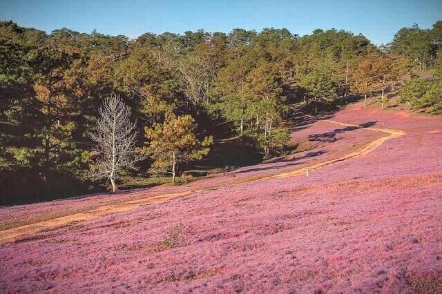 Mùa cỏ hồng Đà Lạt