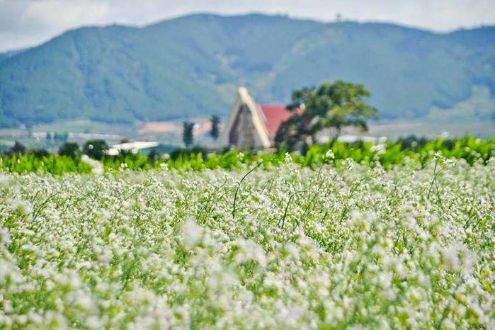 Mùa hoa cải trắng Đà Lạt