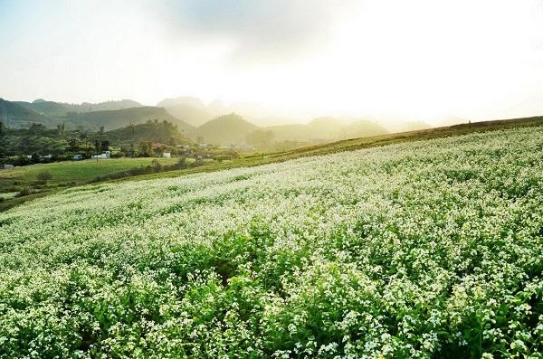 Tinh khôi mùa hoa cải trắng Mộc Châu