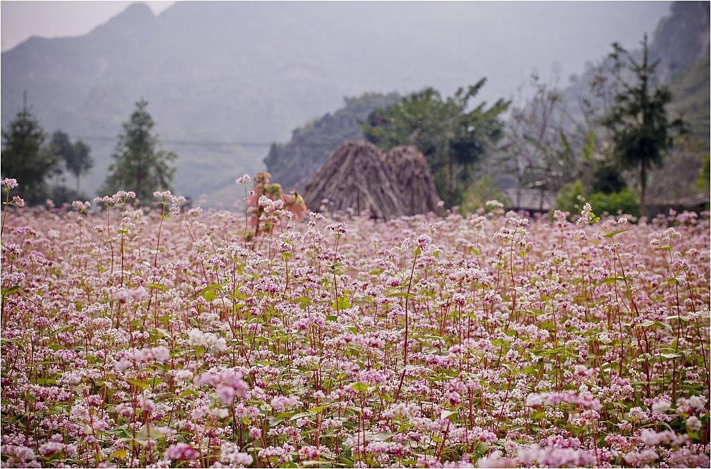 Mùa hoa tam giác mạch