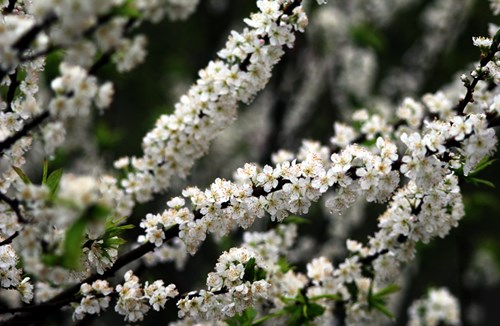 Hoa Mận trắng rừng