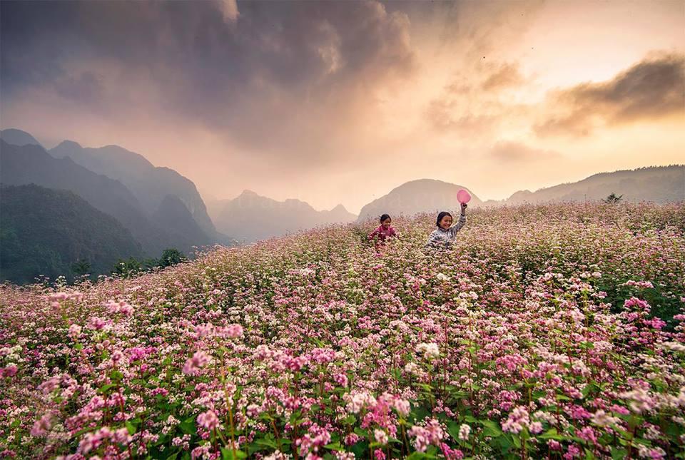 Mùa hoa tam giác mạch Hà Giang
