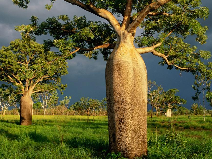 Loài cây Boab