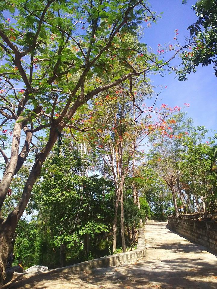 Hoa phượng đỏ trên đỉnh Long Sơn