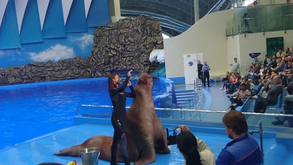 When traveling to Tuan Chau, don't forget to see the seal circus