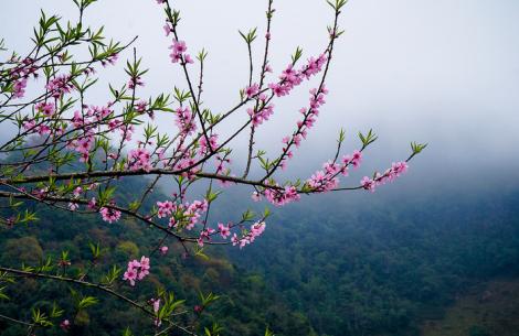 Hoa đào nở trên cao nguyên Mộc Châu