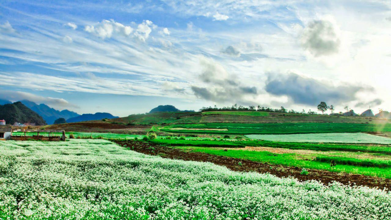 Hoa cải trắng bạt ngàn cánh đồng