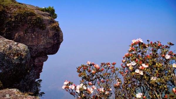 Hoa đỗ quyên lưng chừng đỉnh Pha Luông
