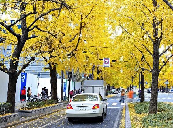 Sắc vàng ấm áp trên đường phố Osaka