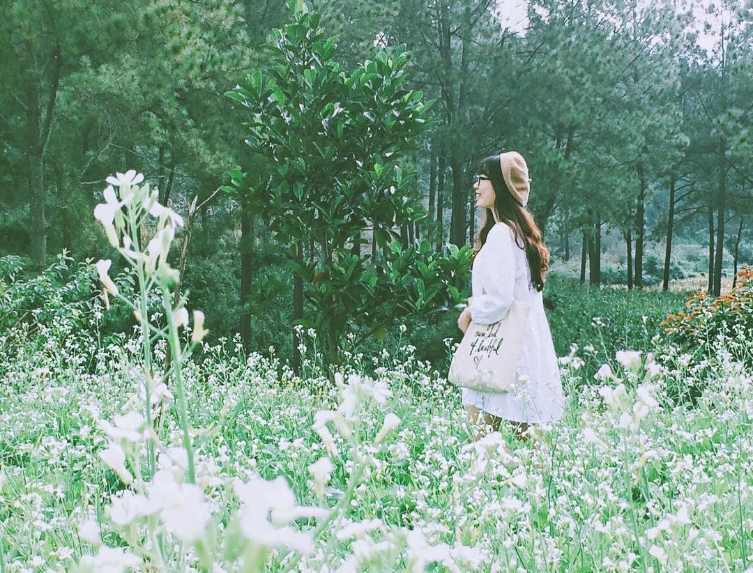 Check-in với hoa cải trắng tại rừng thông bản Áng