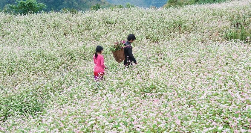 Hoa tam giác mạch bên đường khám phá Ngũ Động Bản Ôn