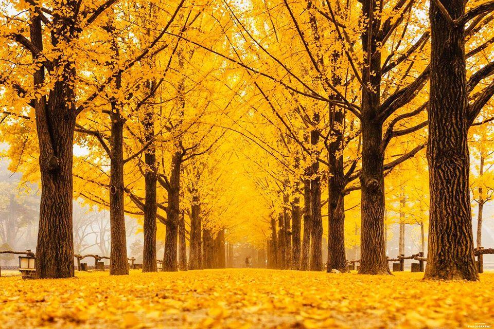 Mùa thu lá vàng ở đảo Nami Hàn Quốc tháng 11