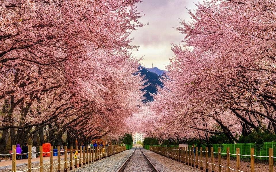 Ngắm hoa anh đào Nhật Bản dịp tháng 4