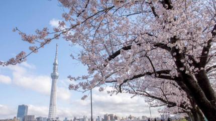 Mùa hoa anh đào: Hồ Chí Minh - Fuji - Tokyo - Yamanashi 4N3Đ