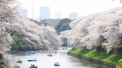 Mùa hoa anh đào: Hồ Chí Minh - Fuji - Yamanashi 5N4Đ