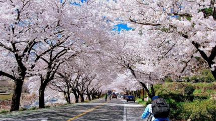Ngắm hoa anh đào Hàn Quốc: Hồ Chí Minh - Seoul - Yeouido Park -  Đảo Nami 5N4Đ