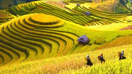 Yên Bái mùa vàng: Mù Cang Chải - Đèo Khau Phạ - Tú Lệ 3N2Đ
