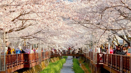 Ngắm hoa anh đào: Hồ Chí Minh - Seoul - Nami - Everland - Công viên Yeouido 5N4Đ