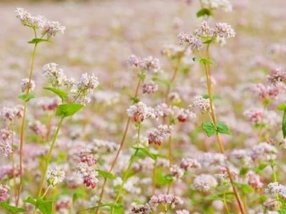 Hà Nội - Hà Giang: Khám phá mùa hoa tam giác mạch 3N2Đ