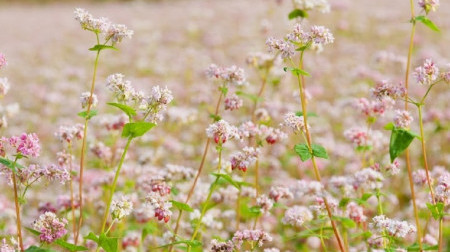 Hà Giang: Khám phá mùa hoa tam giác mạch 3N2Đ