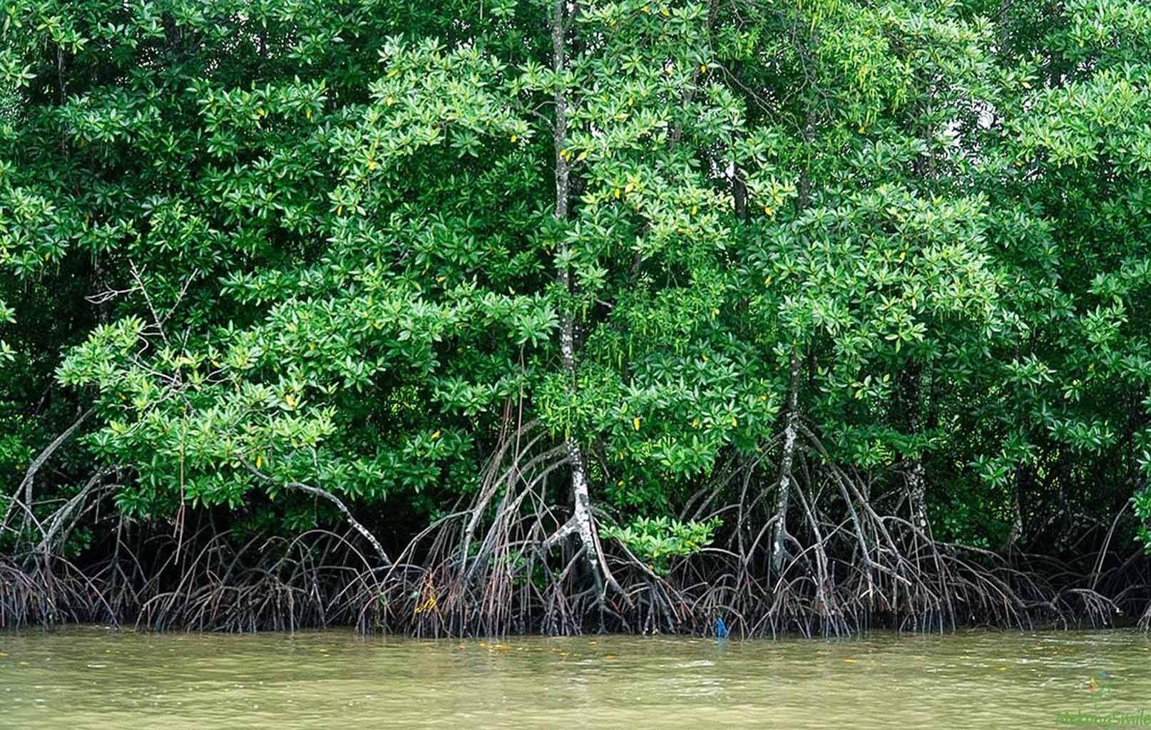 Hệ sinh thái rừng ngập mặn tại Vườn quốc gia Mũi Cà Mau